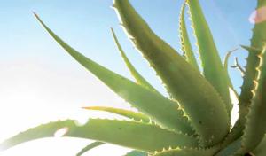 pianta-aloe-vera-barbadensis